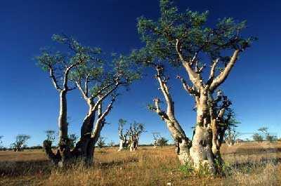 Moringa PKM1 L arbre de la vie graines