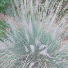 Muhlenbergia lindheimeri Lindheimers-Haargras Samen