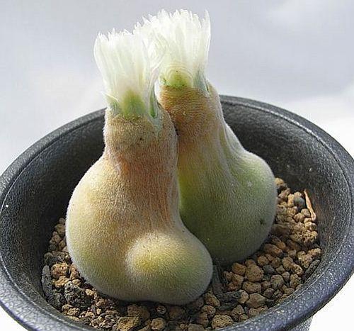 Muiria hortenseae Sukkulente Samen