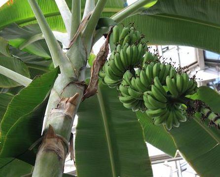 Musa acuminata Bananier nain graines