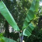 Musa balbisiana atia black Winterharte Banane Samen