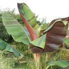 Musa sikkimensis Darjeeling Banane Samen