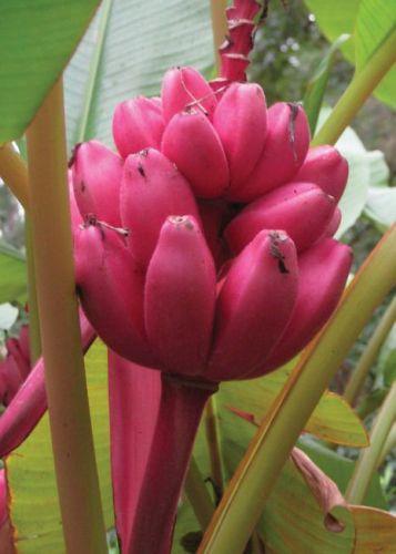 Musa velutina pink Banane rose velours graines