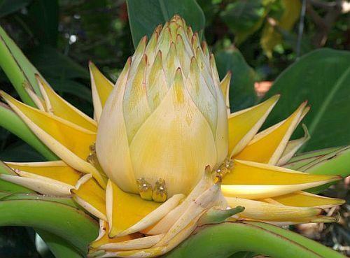 Musella lasiocarpa Golden Lotus Banane Samen
