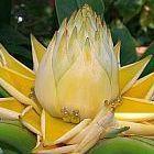 Musella lasiocarpa Китайский желтый банан. Золотой лотос   cемян