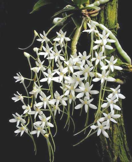 Mystacidium venosum Orchidee - Orchideen Samen