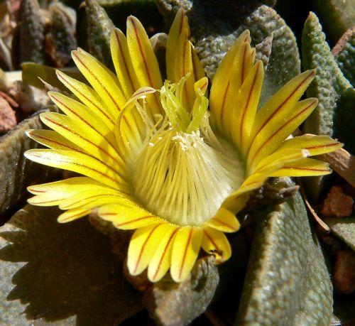 Nananthus transvaalensis Mesembs - Aizoaceae Samen