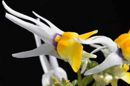 Nemesia cheiranthus Немезия хейрантовая (лакфиолевая) Семена