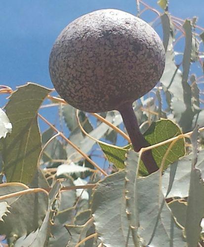 Neobeguea mahafaliensis Handy Tree Samen