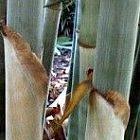 Neosinocalamus affinis