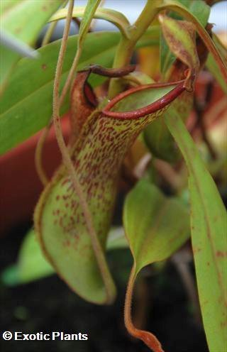 Nepenthes alata Nepenthes Samen