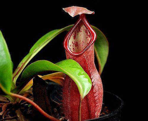 Nepenthes albomarginata Plantas jarro, Planta de copa de mono semillas