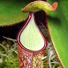 Nepenthes albomarginata brown speckle var. giant