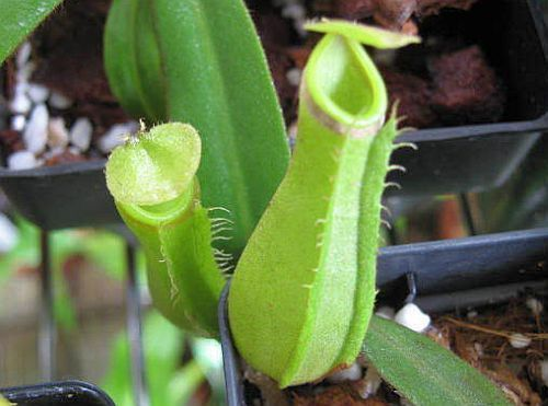 Nepenthes albomarginata purple green var. giant Kannenpflanze Samen