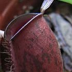 Nepenthes ampullaria dark red black lips Kannenpflanze Samen