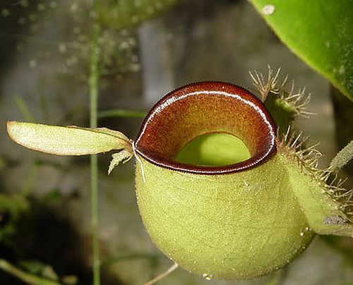 Nepenthes ampullaria hot lips Kannenpflanze Samen