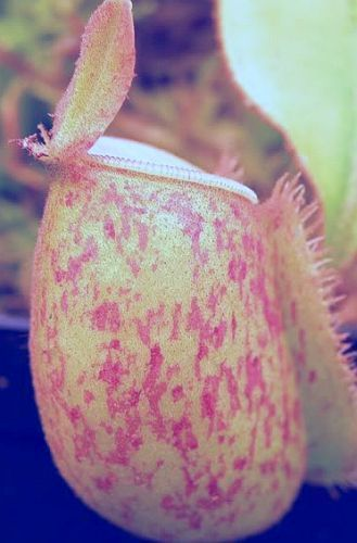 Nepenthes ampullaria red green lips var. giant Kannenpflanze Samen