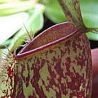Nepenthes ampullaria red spotting Kannenpflanze Samen