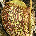 Nepenthes ampullaria tricolor  cемян