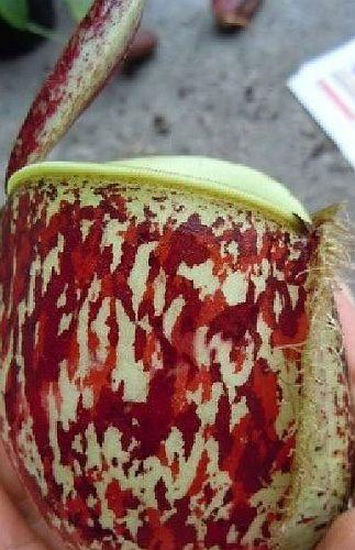 Nepenthes ampullaria tricolor var. giant Plantas jarro, Planta de copa de mono semillas