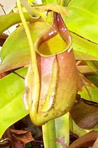 Nepenthes bicalcarata Plantas jarro, Planta de copa de mono semillas