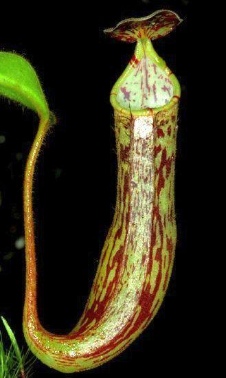 Nepenthes fallax Kannenpflanze Samen
