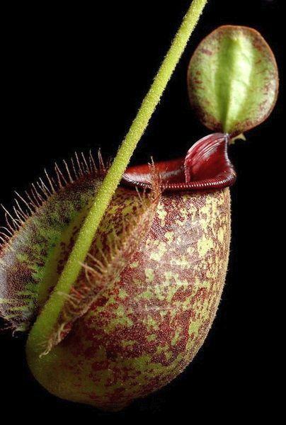 Nepenthes hookeriana planta lanzadora semillas