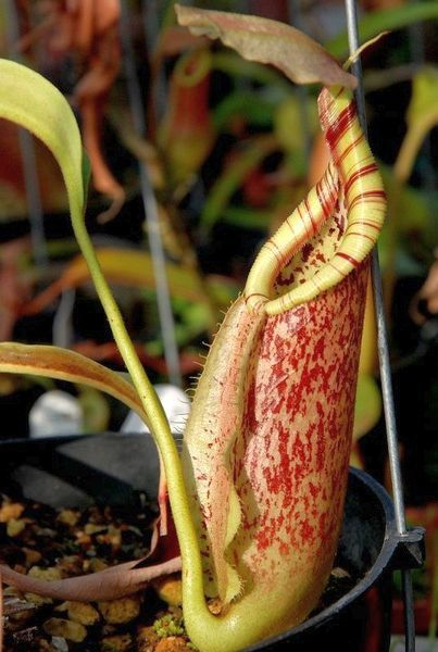 Nepenthes rafflesiana planta lanzadora semillas