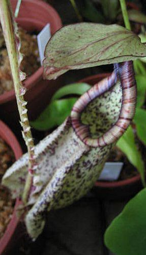 Nepenthes rafflesiana black speckle var. alata  Семена