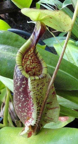 Nepenthes rafflesiana green var. squat Kannenpflanze Samen
