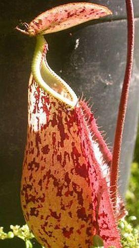 Nepenthes rafflesiana pink speckle var. giant Plantas jarro, Planta de copa de mono semillas