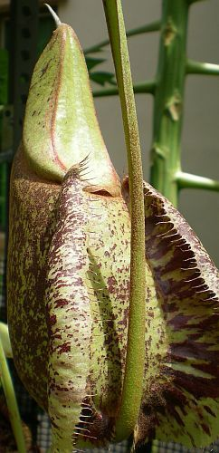 Nepenthes rafflesiana rainbow speckle var. giant Kannenpflanze Samen