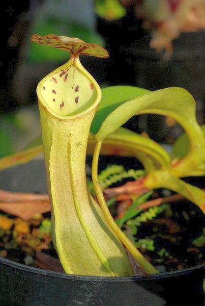 Nepenthes reinwardtiana Kannenpflanze Samen