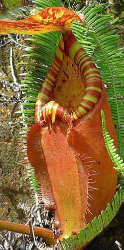 Nepenthes sumatrana giant pitcher plant graines