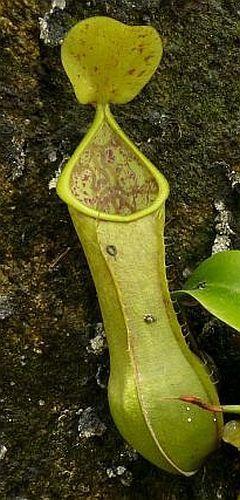Nepenthes tobaica Plantas jarro, Planta de copa de mono semillas