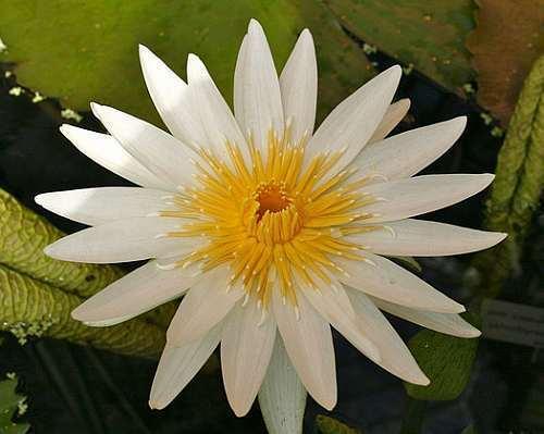 Nymphaea ampla weiße Seerose Samen