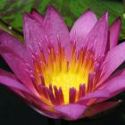 Nymphaea capensis Pink  semi