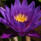 Nymphaea capensis Purple  semillas