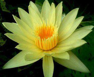 Nymphaea eldorado Seerose gelb Samen