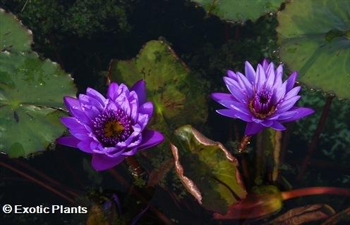 Nymphaea nouchali caerulea Blauer Lotus Samen