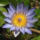 Nymphaea nouchali caerulea Кувшинка голубая cемян