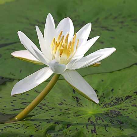 Nymphaea pubescens Wasserpflanze - Aquariumpflanze Samen