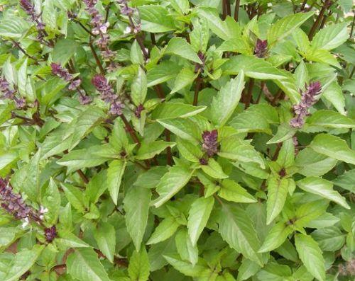 Ocimum basilicum var. cinnamon Basilic sucré - Cannelle graines