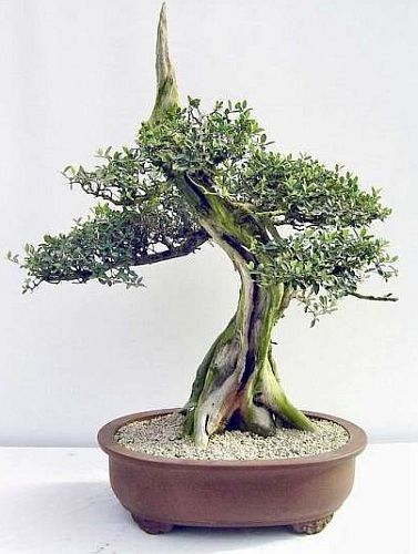Olea africana Wildolive Samen