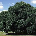 Olea europaea ssp africana wilde Olive Samen