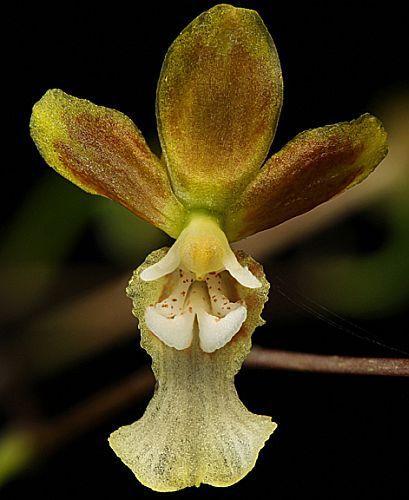 Oncidium ediwallii orquídea semillas
