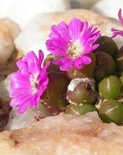 Oophytum oviforme Mesembryanthemum  Samen