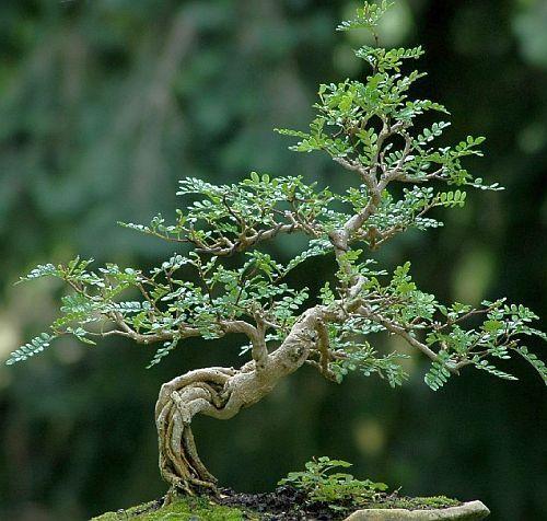 Operculicarya decaryi faux-poivrier du Japon - Jabily graines
