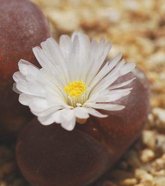 Ophthalmophyllum friedrichiae  semillas