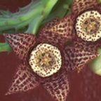Orbea variegata  cемян